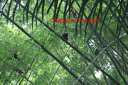 howler monkeys on edith falls trail comp.jpg (125552 bytes)